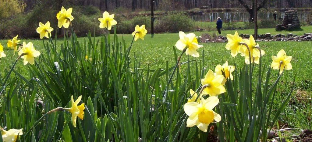 daffodils at pond